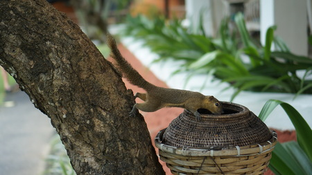 Squirrel on a tree on Bali