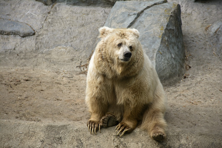 greet eyes: Sitting brown bear among the rocks in nature Stock Photo