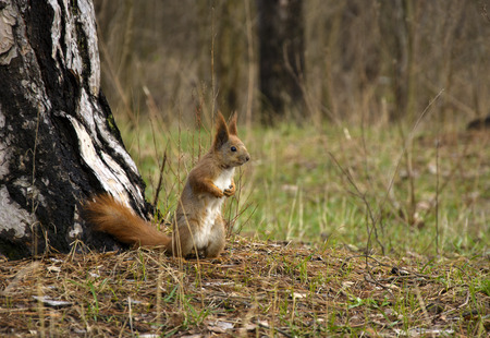 red squirrel: Red squirrel in the woods near a tree day Stock Photo