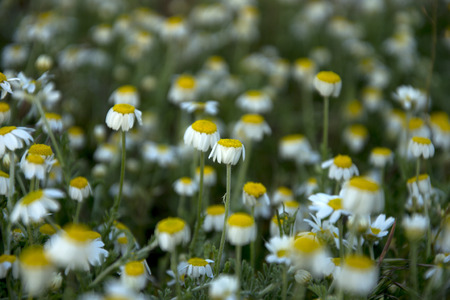 small field: many small field of daisies in the sun