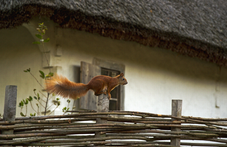 Jumping squirrel on a wicker fence near the white house