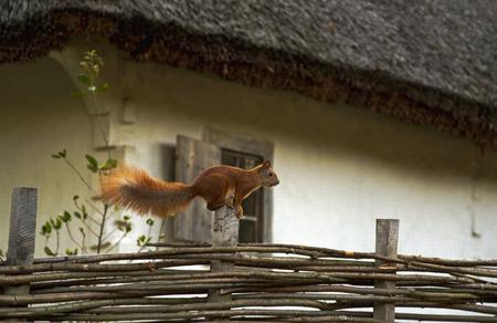 salto de valla: Saltando de ardilla en una cerca de mimbre cerca de la casa blanca