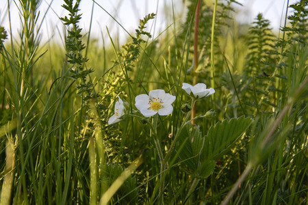 rosoideae: strawberry flower blooming in the green grass