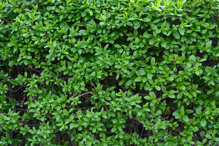 A lot of small green leaves in the hedge Stock Photo