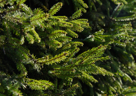 Many young green fir branches on the background Stock Photo