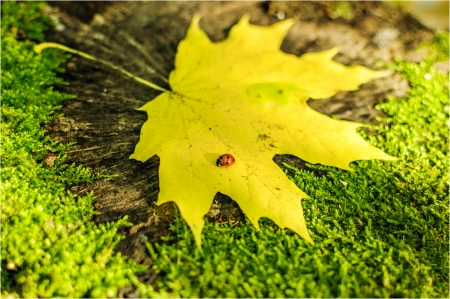 Ladybird on the maple yellow leaf photo