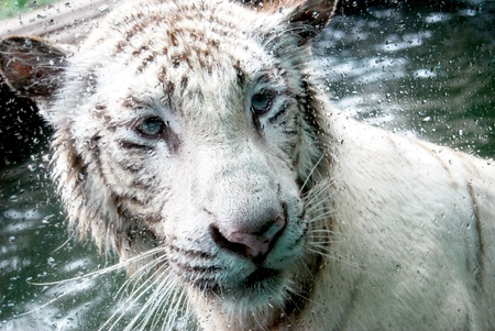 white lion in the water close up angle photo