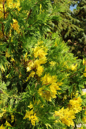 thuja occidentalis: Thuja occidentalis. Grade Barabits Gold