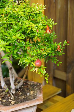 dwarves: Pomegranate ordinary. Grade Punica pomegranate. bonsai Tree