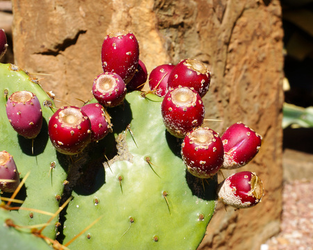 cactus species: Prickly pear. Variety of of cactus Stock Photo
