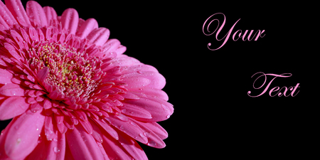 Pink gerbera on a black background. Congratulatory background with a pink flower. Free space for text.