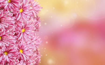 Greeting card with chrysanthemum. Congratulatory background with chrysanthemum flowers. Фото со стока