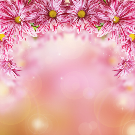 Card with pink flowers. Congratulatory background with chrysanthemum flowers.
