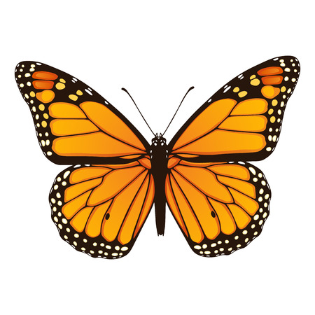 Vector illustration of hand drawn monarch butterfly isolated on white background