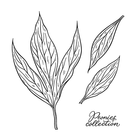 Peony leaves hand drawn in lines. Black and white graphic doodle sketch floral vector illustration. Isolated on white background