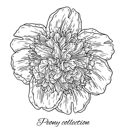 Peony flower hand drawn in lines. Black and white graphic doodle sketch floral illustration. Isolated on white background 向量圖像