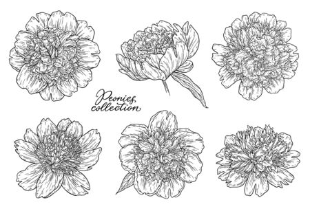 Peony flowers set hand drawn in lines. Black and white graphic doodle sketch floral illustration. Isolated on white background 向量圖像