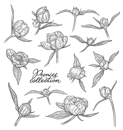Peony flowers and buds hand drawn in lines. Black and white graphic doodle sketch floral vector illustration. Isolated on white background