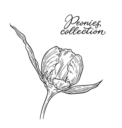 Peony flower hand drawn in lines. Black and white graphic doodle sketch floral vector illustration. Isolated on white background 向量圖像