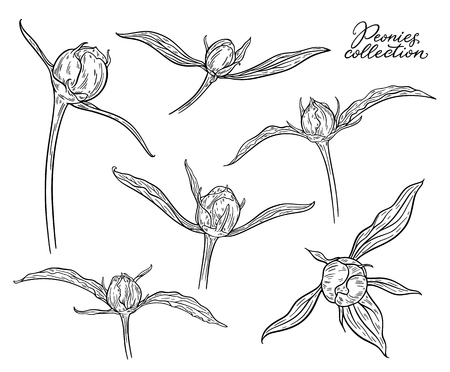 Peony flower buds set hand drawn in lines. Black and white graphic doodle sketch floral vector illustration. Isolated on white background