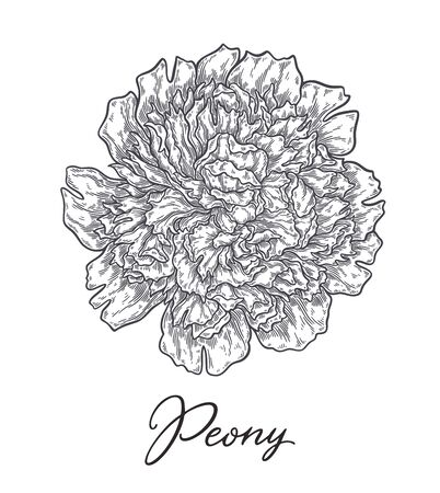 Peonis flower hand drawn in lines. Black and white monochrome graphic doodle elements. Isolated vector illustration, template for design