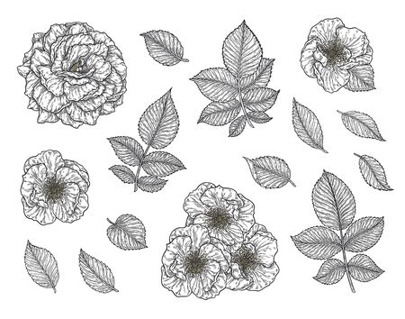Rose flower and leaves hand drawn in lines set. Black and white monochrome graphic doodle elements. Isolated vector illustration, template for design
