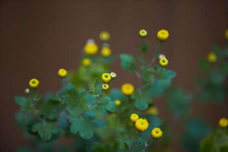 Colorful yellow and orange chrysanthemum flower bloom in the farm. Buttons 免版税图像