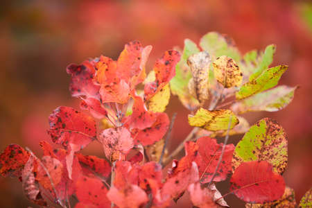 Creative autumn background of pine sapling leaves. Seasonal concept. Red, yellow, green, orange leaves of barberry in autumn. Colorful autumnal plants.