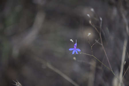Blue forest small flower. Wild forest flowers in autumn on a background of grey dry leaves. 免版税图像