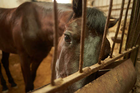 Portrait of racing brown horse horse in stable
