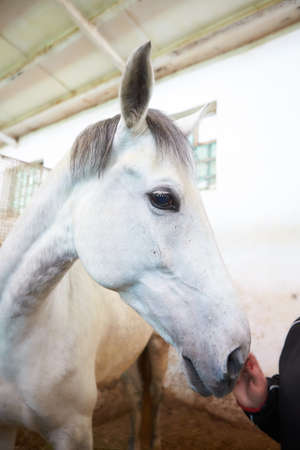 portrait of racing white horse in stable