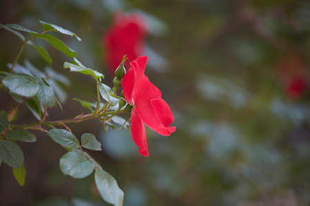 Close-up of a red wild rose with green leaves on a blurry background.