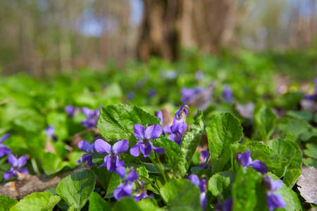 Wild violets blooming in forest. The first spring purple flower. Banque d'images