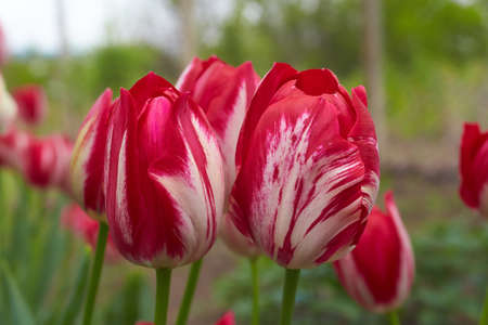 Vivid red tulips with variegated leaves bloom in a garden in a spring day, beautiful outdoor floral background photographed with soft focus.
