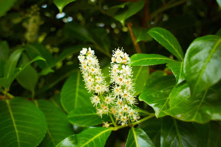 Prunus laurocerasus cherry laurel shrub in bloom, group of small white flowering flowers buds, green leaves on branches. Stock Photo