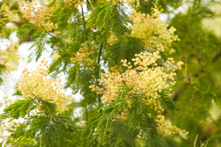 Spring fluffy yellow small mimosa flowers isolated on natural background. Space for text.