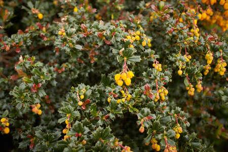 Berberis frikartii branch. Thorny branches of berberis frikartii with bright yellow flowers.