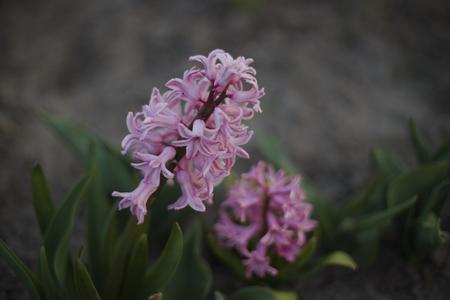 hyacinths: pink hyacinths