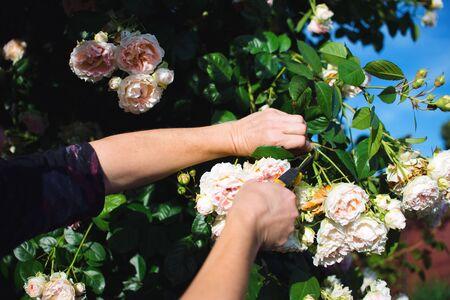 Gardener pruning beautiful roses in his garden in early summer