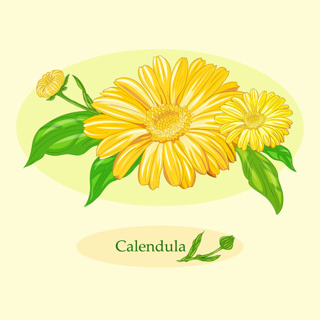 calendula: Medicinal plant Calendula officinalis (common marigold). Illustration