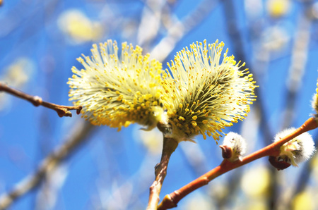 Willow twigs close-up. Beautiful fluffy sprig of blossomed willow.