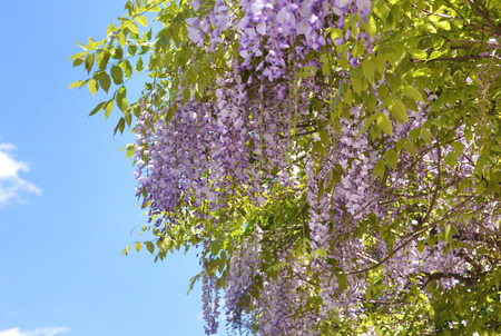 Purple wisteria flowers. Spring lilac flower. Blooming garden.