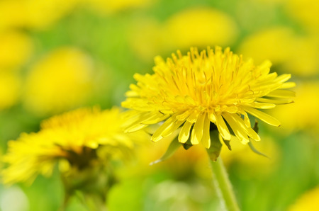 Closeup bright yellow dandelion flower spring, Macro photo. Soft focus.