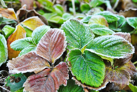 autumn colour: Strawberry leafs covered with rime frost