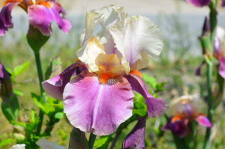 Bearded iris. The sort of Beautiful night. The name of the irises in honor of the Greek goddess of rainbow