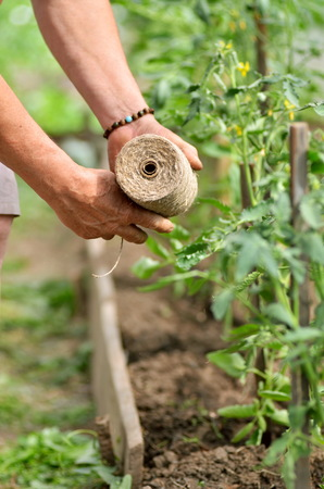 Mans hands tying up branches of plants.Farmers planted tomatoes in garden Stock Photo
