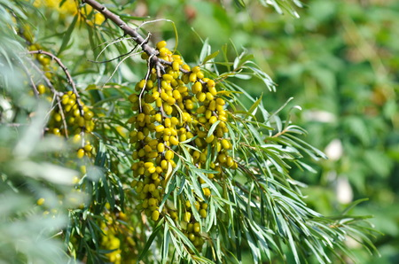 autumn colour: Branch with berries of sea buckthorn and green leaves