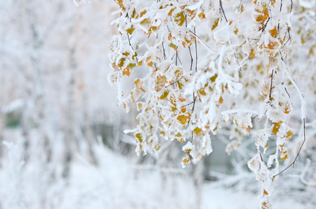 autumn colour: Birch branches with beautiful autumn yellow leaves under snow. Stock Photo