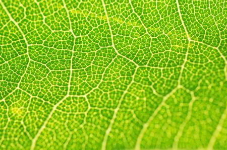surface: Green Leaf macro. Leaf texture or leaf background for design.