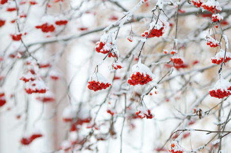 Red bunches of rowan covered with snow.